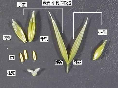 吉田|稲麦雑穀の穂や小花の写真